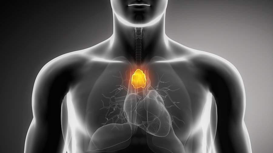 Расположение тимуса в организме человека