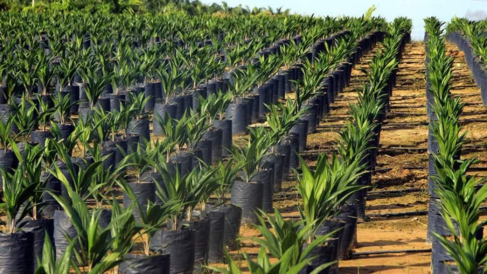 Пальмовому маслу готовят ГОСТ